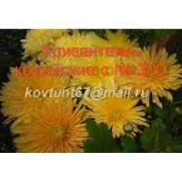 Хризантема корейская сорта с № 300