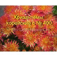 Хризантема корейская сорта с № 400