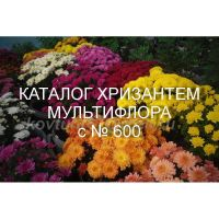 Хризантема мультифлора сорта с № 600