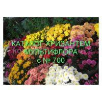 Хризантема мультифлора сорта с № 700
