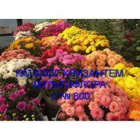 Хризантема мультифлора сорта с № 800