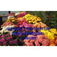 Хризантема мультифлора сорта с № 900