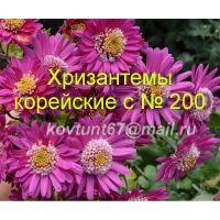 Хризантема корейская сорта с № 200