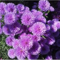 астра Showmakers Lavender