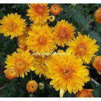 хризантема корейская  Дюна