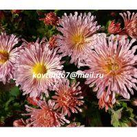 хризантема корейская Вологодские Кружева розовая