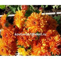 хризантема корейская Золотистый Апельсин