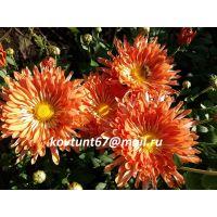 хризантема корейская Деко