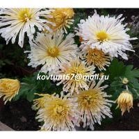 хризантема корейская Вологодские Кружева