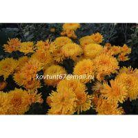 хризантема корейская Осеннее Рандеву