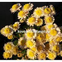 хризантема корейская Горный Хрусталь