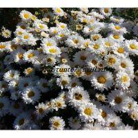 хризантема корейская Белые Метели