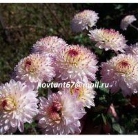 хризантема корейская Малинова Веснянка