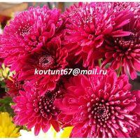 хризантема корейская Фигаро