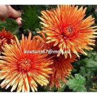 хризантема корейская Дывина