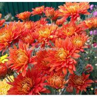 хризантема корейская Заграва