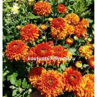 хризантема корейская Пектораль