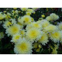 хризантема корейская Лимонка