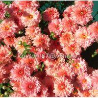хризантема корейская Книпскис