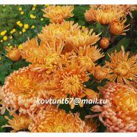 хризантема корейская Полет Шмеля