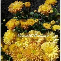 хризантема корейская Конфетти