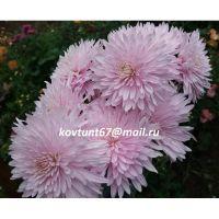 хризантема корейская Ариель