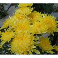 хризантема корейская Лимонная Букетная