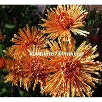 хризантема корейская Полонина