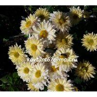 хризантема корейская Крыжинка
