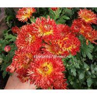хризантема корейская Осеннее Рандеву красная