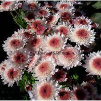 хризантема корейская Медея