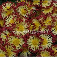 хризантема корейская Красуня