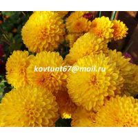 хризантема корейская Wendy Yellow