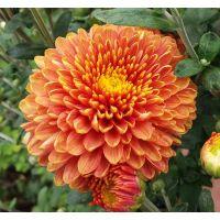 хризантема корейская Осень Золотая