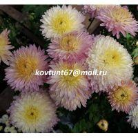 хризантема корейская Ранкова Роса