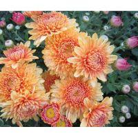 хризантема корейская Миатида