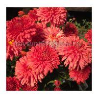 хризантема корейская Лето Красное