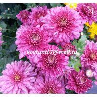 хризантема корейская Новелла
