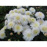 хризантема корейская Снегурочка