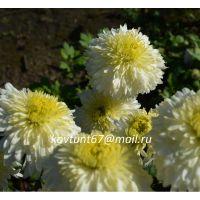 хризантема корейская Хрустальная