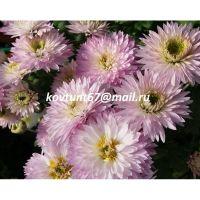 хризантема корейская Лотос