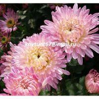 хризантема корейская Сиреневый Тигренок