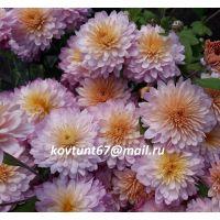 хризантема корейская Сновидение