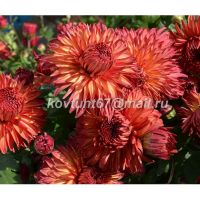 хризантема корейская Цвет Папороти