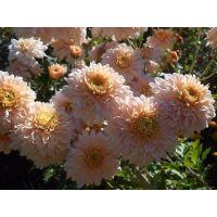 хризантема корейская Кремовая Драгоценность