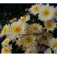 хризантема корейская Осенний Вальс