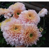 хризантема корейская Розалинда