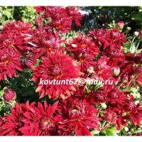 хризантема корейская Варьете