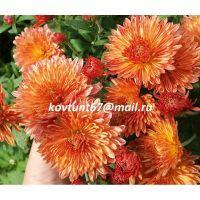 хризантема корейская Янтарь