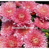 хризантема корейская Татьянин День